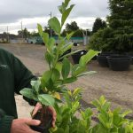 Common Laurel, Pot Grown