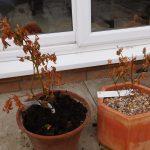 Dead Blueberry Plant