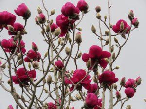 Magnolia Black Tulip Tree Hedgehogs Nursery Garden Centre Fife
